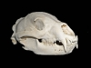 bear-skull-copy
