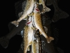 string-of-walleyes-copy