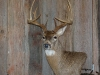 whitetail-taxidermy-pics-and-hollys-bird-005