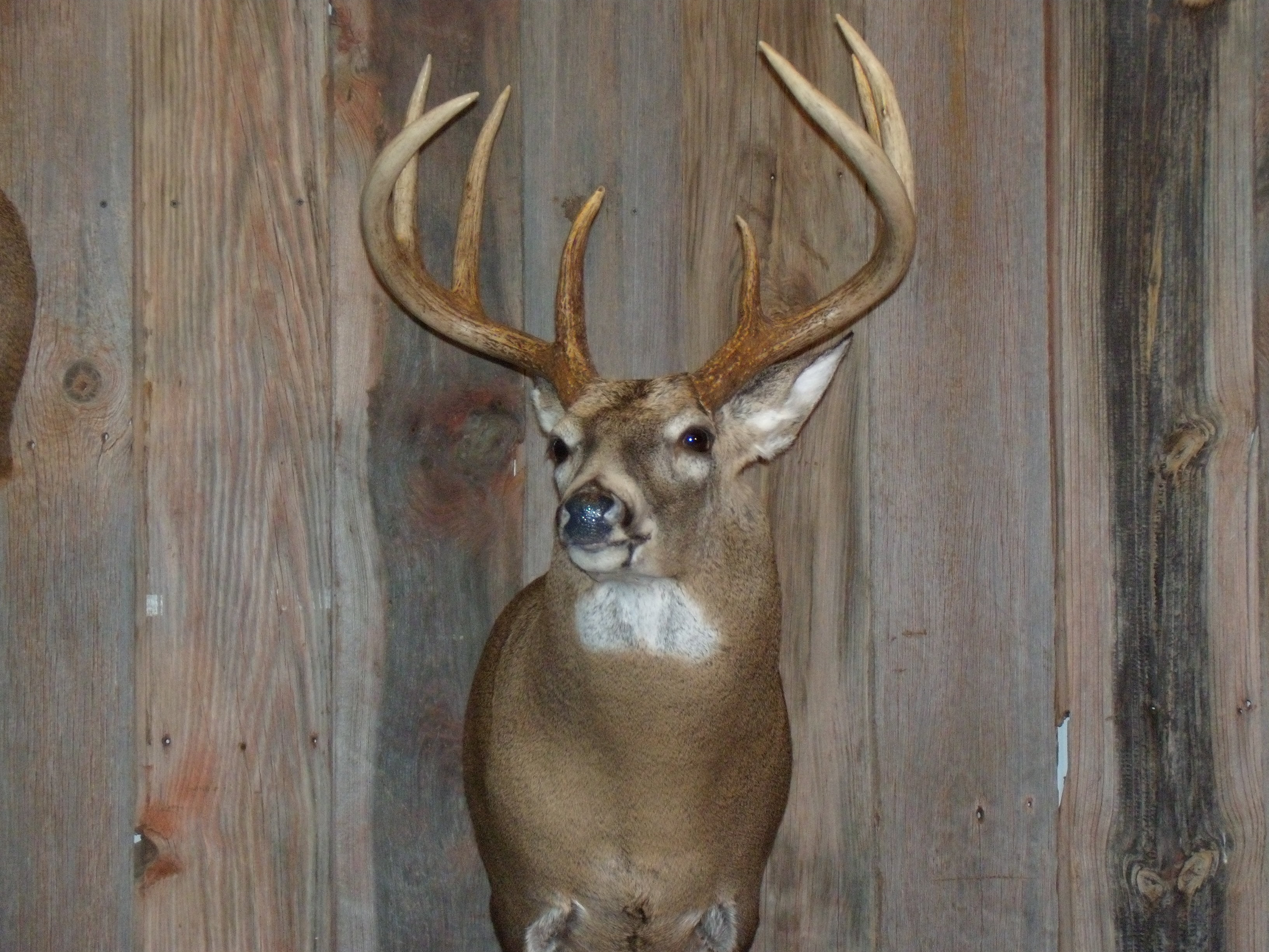 whitetail-taxidermy-pics-and-hollys-bird-001_0