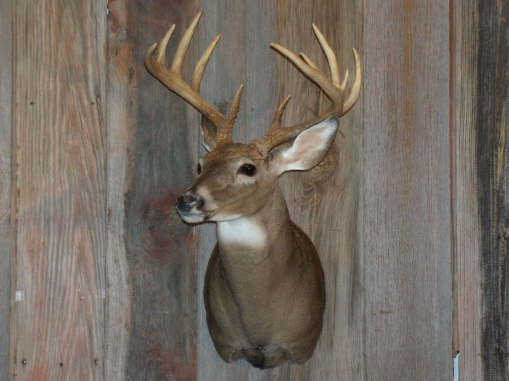 whitetail-taxidermy-pics-and-hollys-bird-004