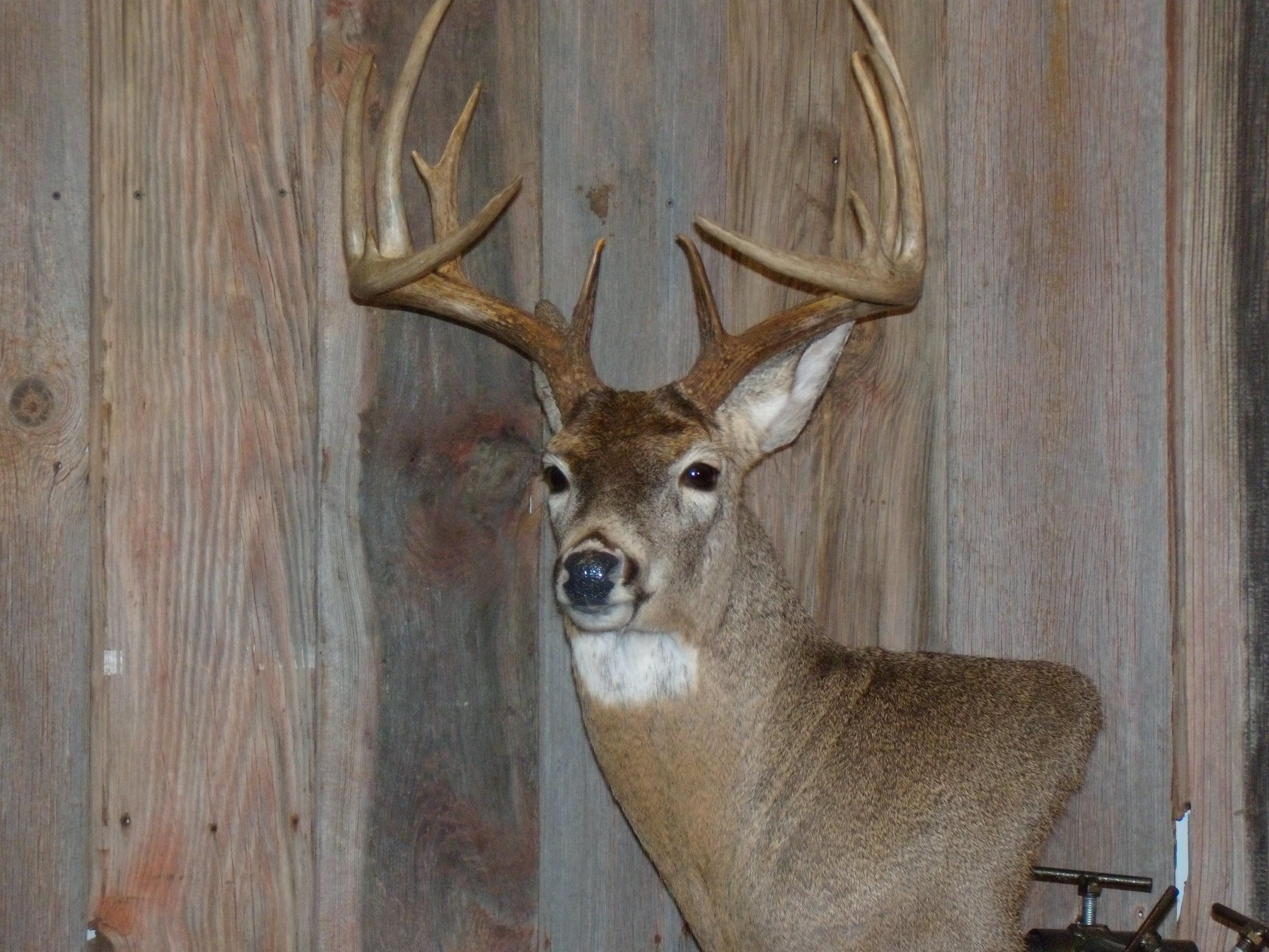 whitetail-taxidermy-pics-and-hollys-bird-005_0